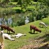 les lamas sur le parcours