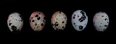 2011 5 quail eggscrop.jpg