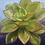 "Thumbnail: ""Sweet Succulent (Aeonium ""Kiwi"")"""