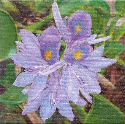 """Philippine Water Hyacinth"""