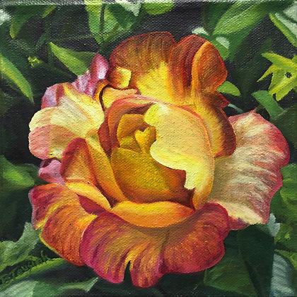 """""""Joseph's Coat of Many Colors Rose"""""""