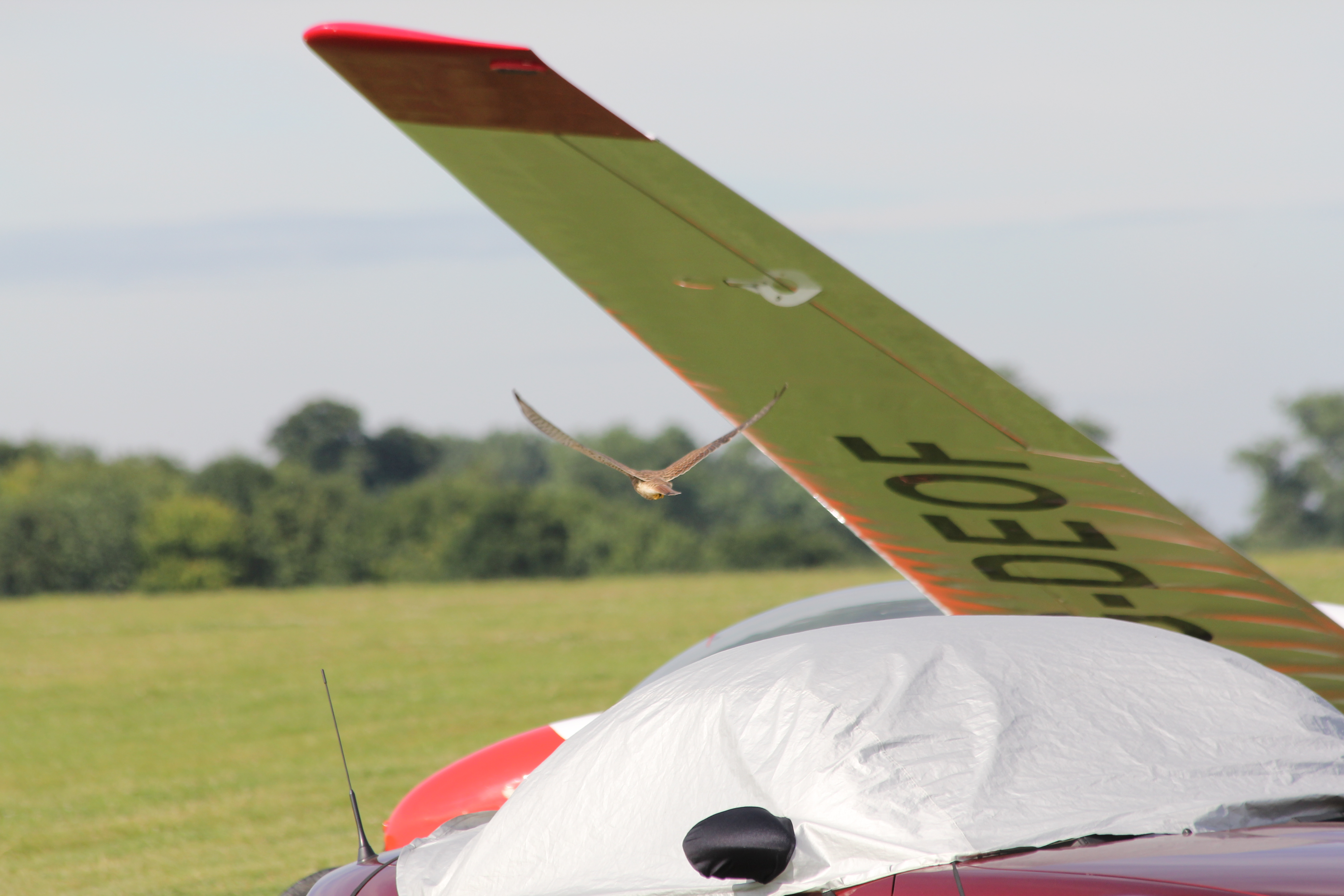 Kestrel flying under glider wing