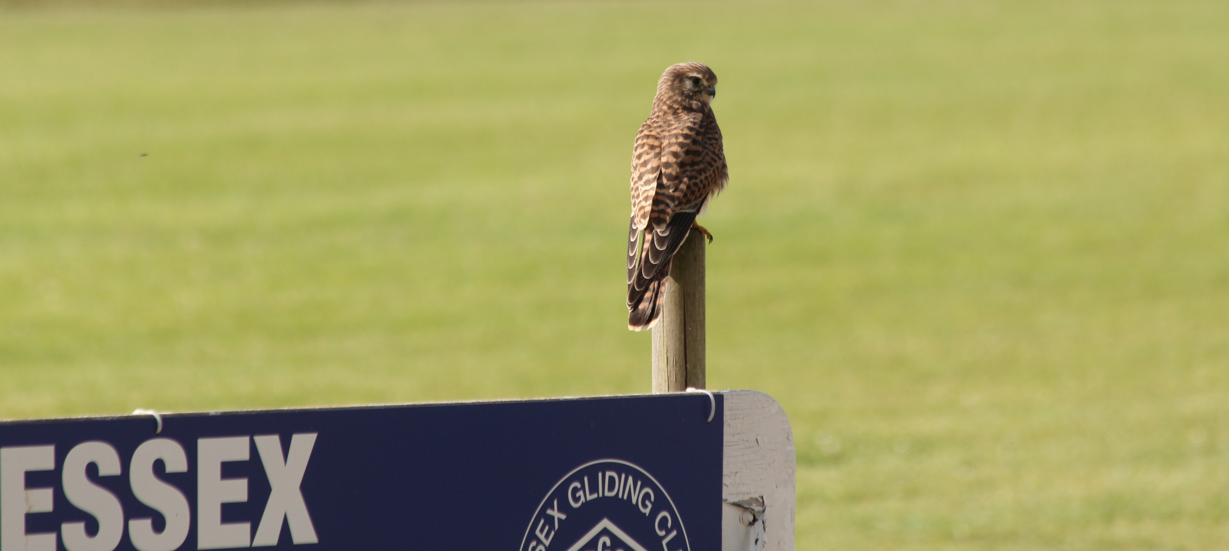 Kestrel on airfield sign