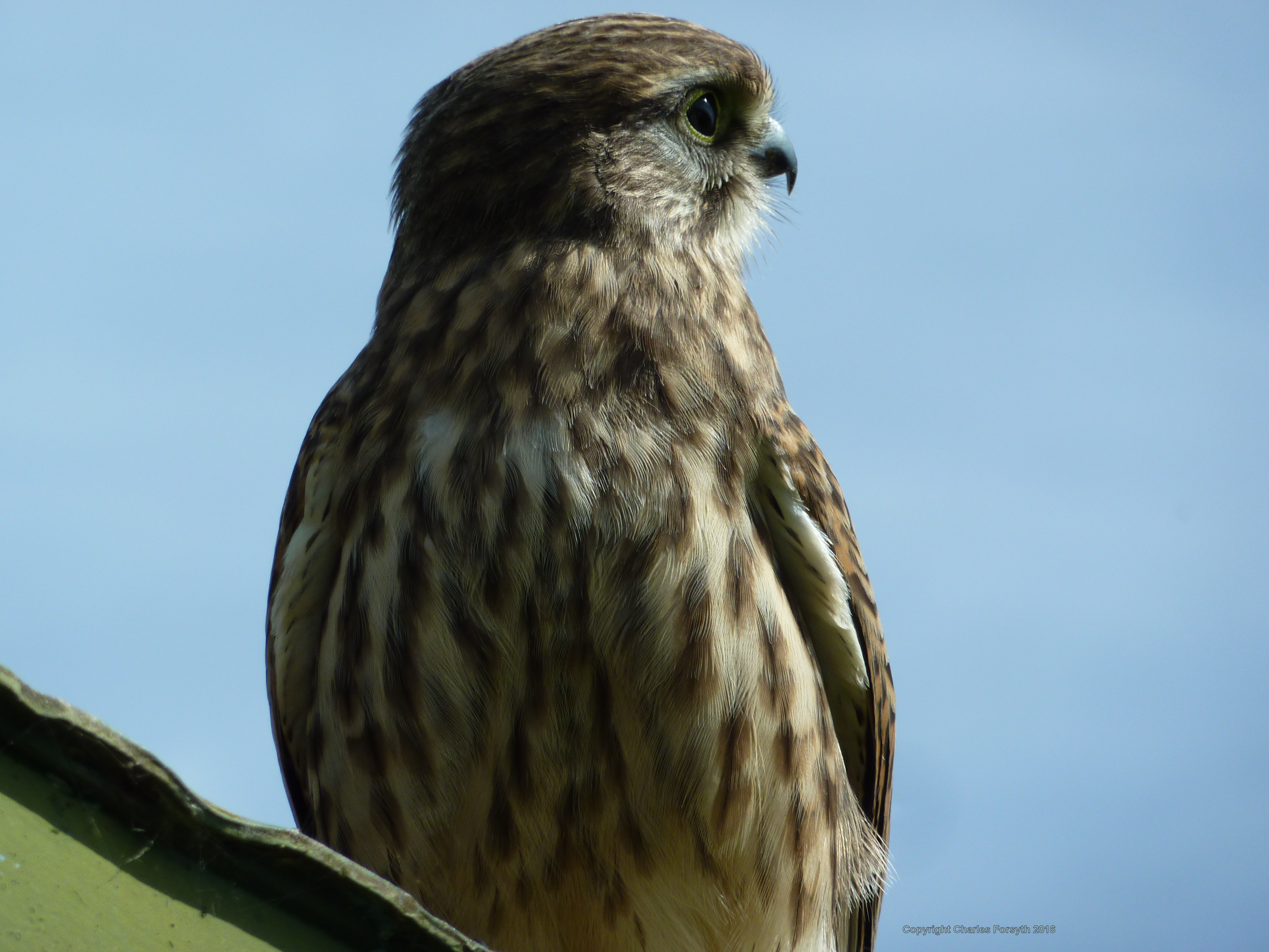 Kestrel by Charles Forsyth - Copyright 2016