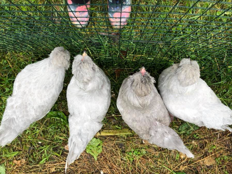 Why you should have backyard chickens