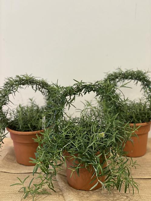 """6"""" Hooped Rosemary"""