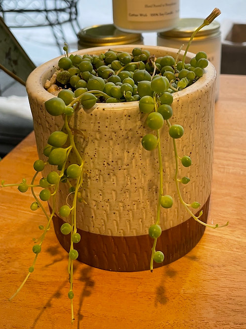 "4"" String of Pearls in Rustic Pot"