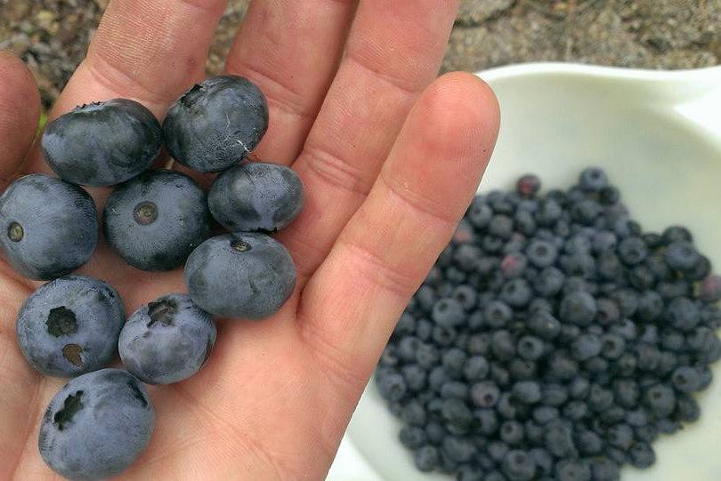 DOTF_Blueberries.jpg