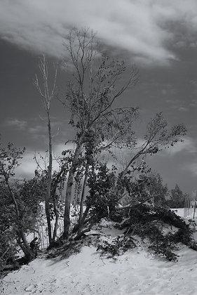 Dunes Tree B & W