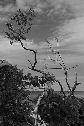 Dune Tree B & W