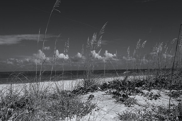 Beach Grass B&W
