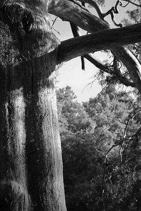 Southern Tree B & W