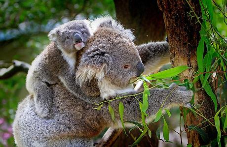 koala-61189_1920.jpg