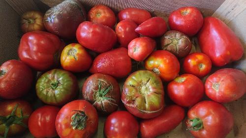 Plateau ~ 7,5 kg de tomates mûres  (pour faire vos sauces, soupe, coulis...)