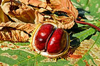 chestnut-2740751_1920.jpg