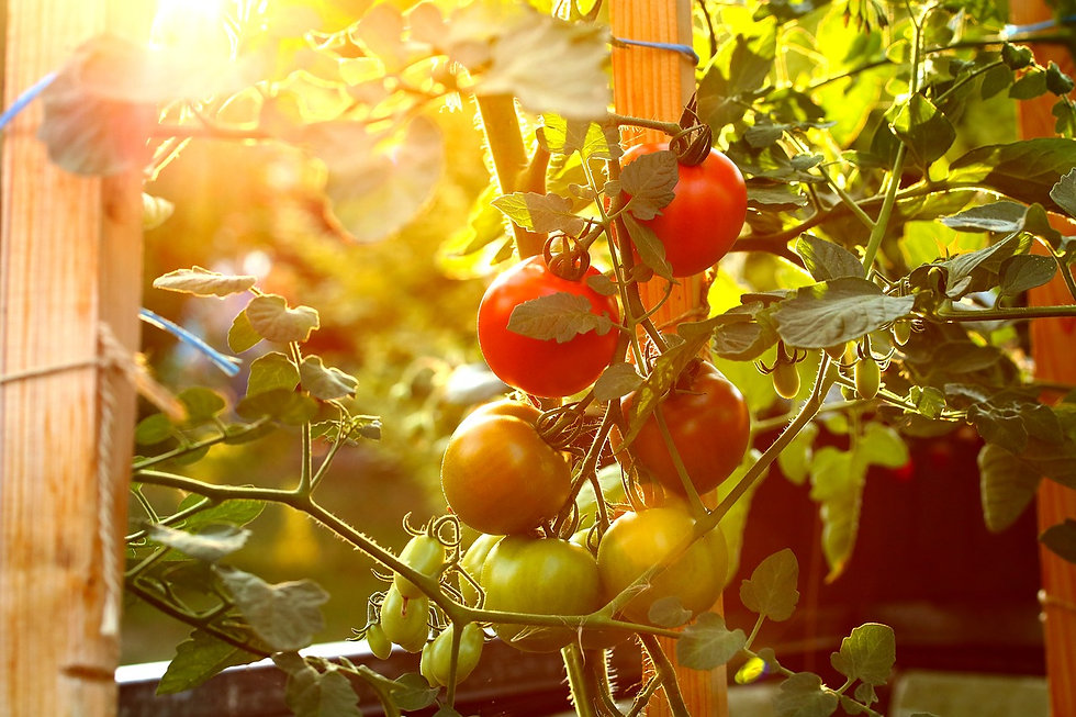 tomate de provence