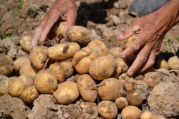 Pomme de terre paysanne le kg, variété Monalisa