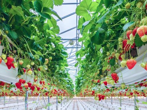 Первый урожай клубники собрали в тепличном комплексе в Кашире