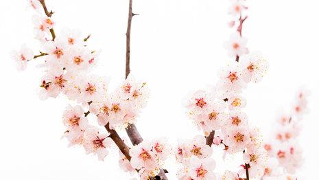 Pink Cherry Blossoms Panorama.jpg