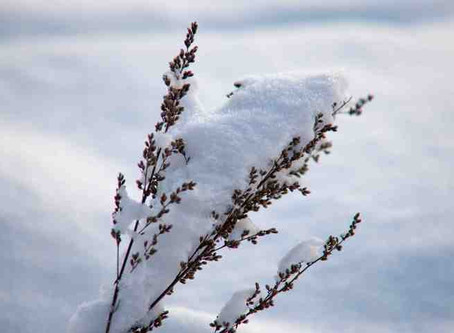 VERNALISATION ou STRATIFICATION A FROID