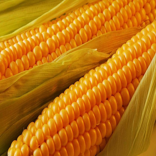 Maïs ''Golden Bantam''