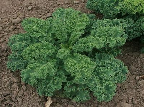 Choux Kale ''Demi Nain a Pied Court''