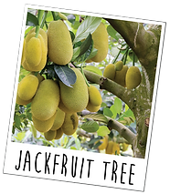 jackfruittree.png