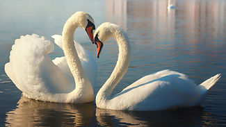 Two white swans. This is Love..jpg