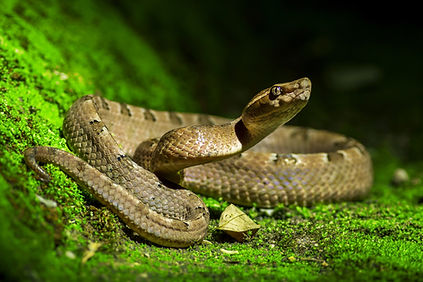 Poisonous snake, Malayan pit viper (Call