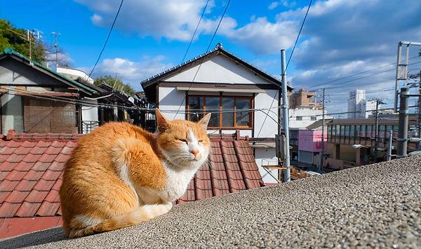 japan-cat.jpg