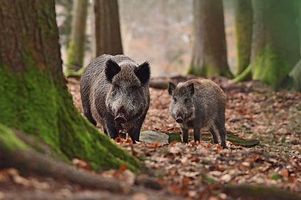 Group of wild boars (Sus scrofa - wild s