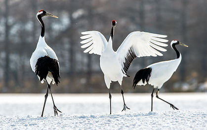 Dancing Cranes. The ritual marriage danc