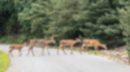 Group of white-tailed deer (Odocoileus v