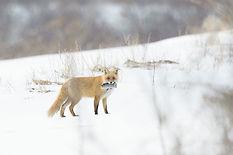 web-kitsune02.jpg
