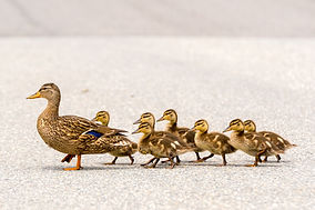 A mother duck and her ducklings crossing