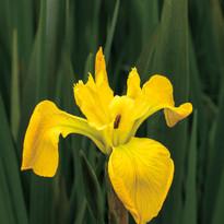 Fig 24 Yellow Flag Iris Iris pseudacorus