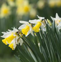 Spring Daffodils_IMG_0752_watermarked.jp