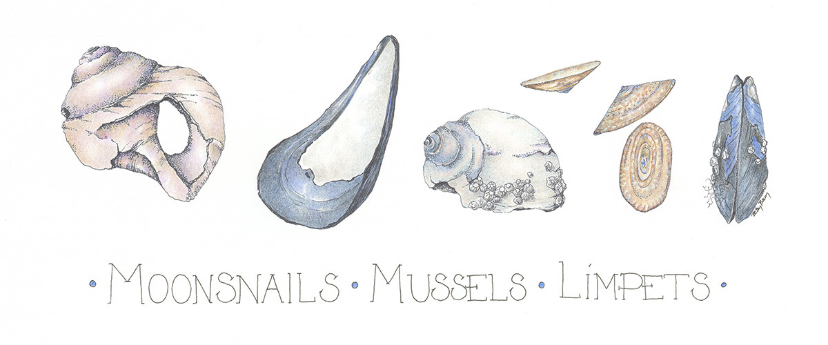 Moonsnails, Mussels,Limpets