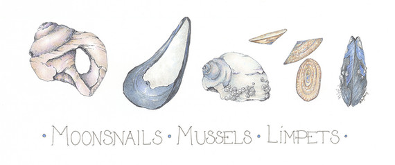 Moonsnails, Mussels,Limpets