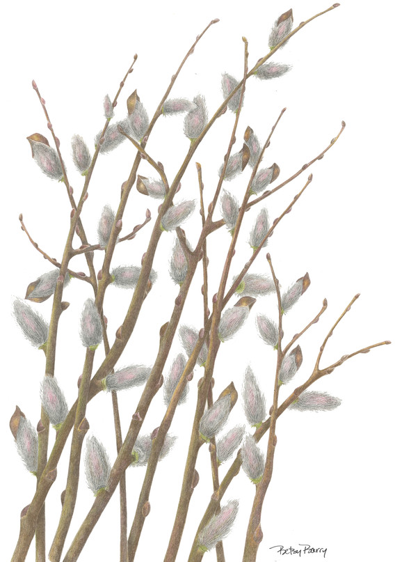 Pussywillow Branches