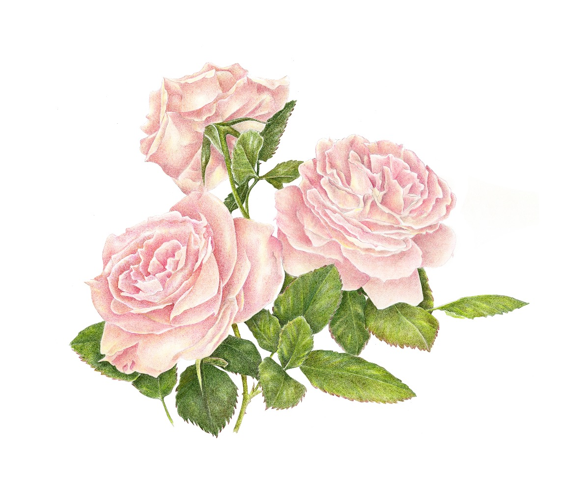 Three Antique Roses