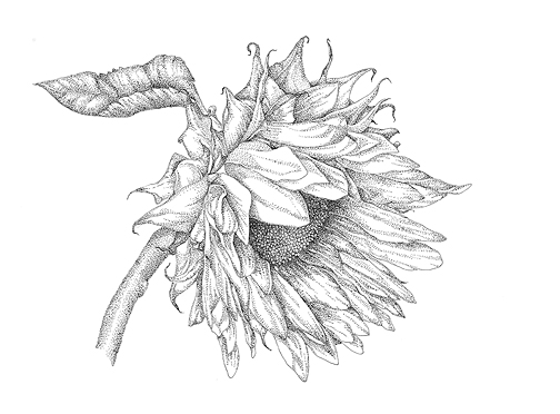 Sunflower in Pen