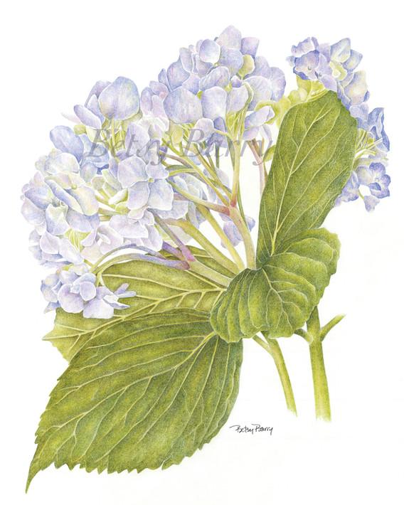 Hydrangea, lavender