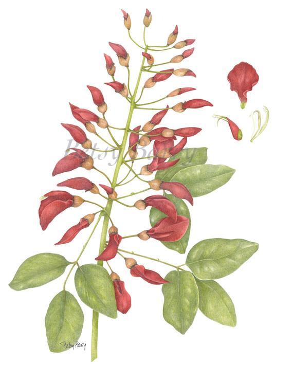 Coral Tree, Erythrina