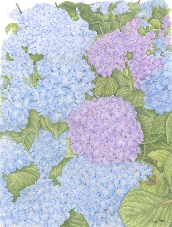Hydrangea in Blue and Purple