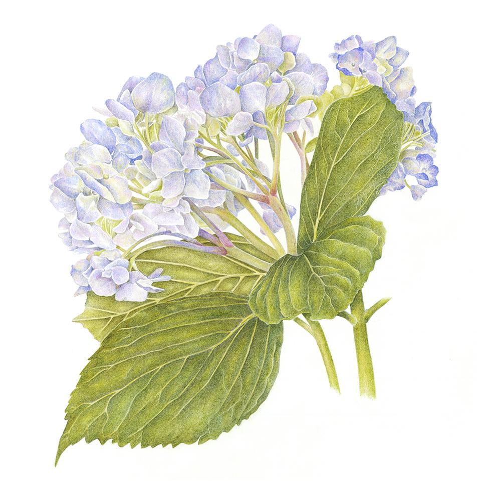 SOLD Blue Hydrangea