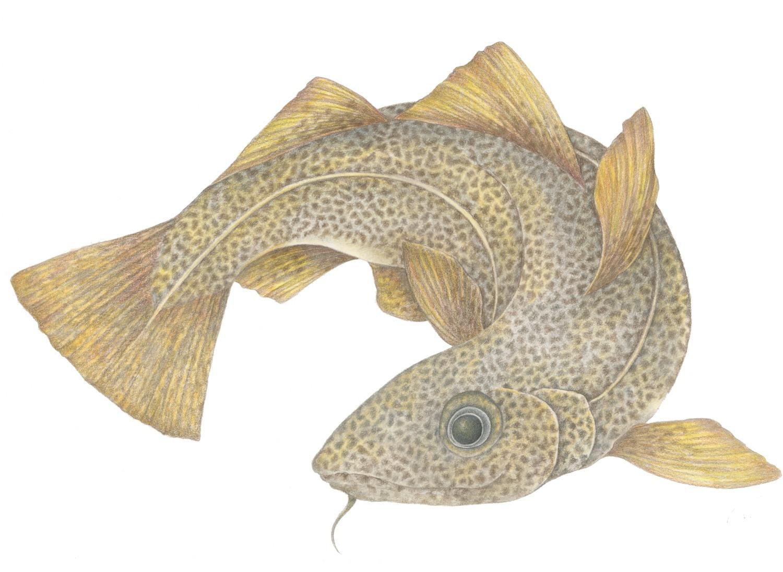 Golden Cod