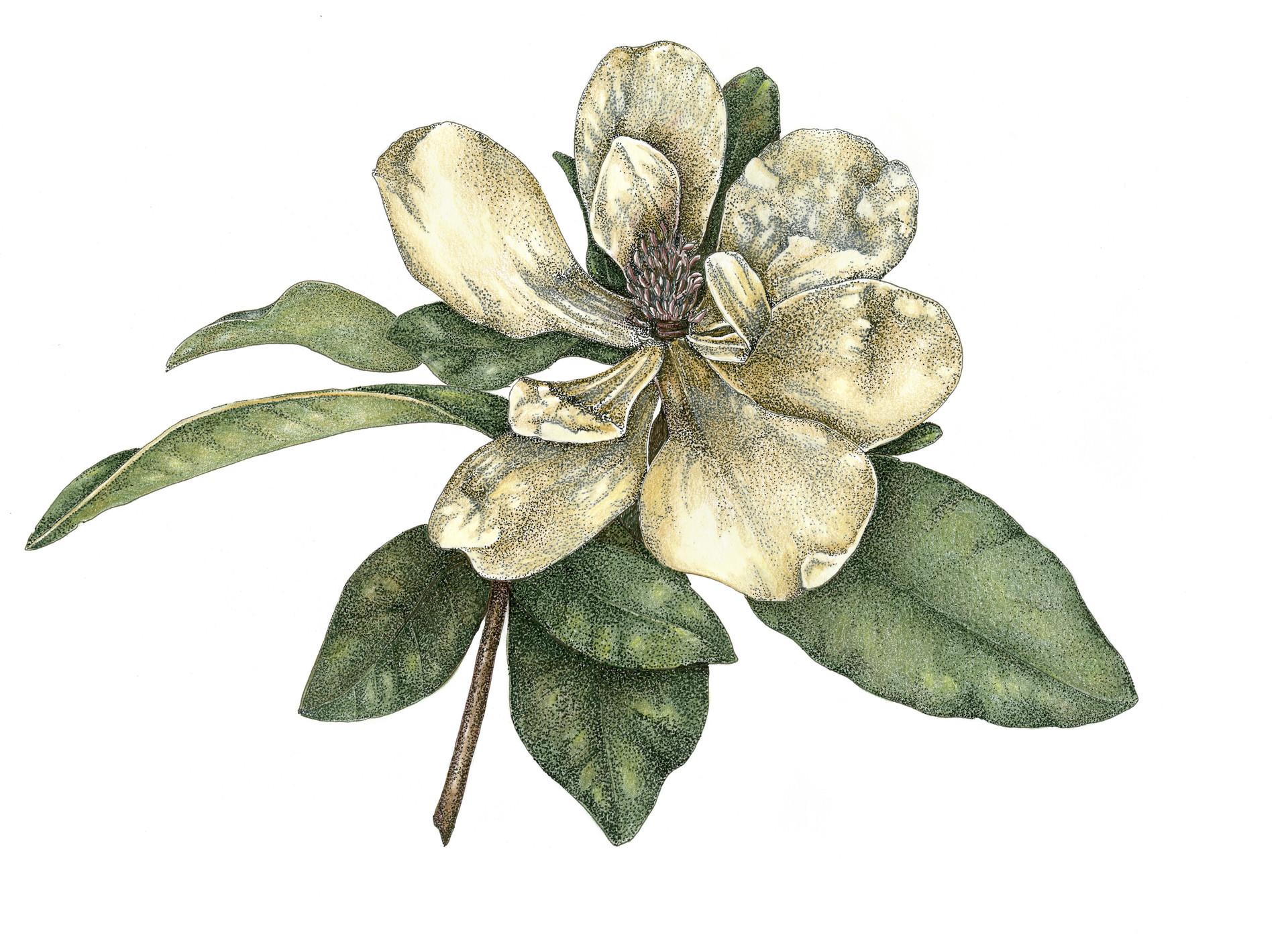 Magnolia in Pen and Pencil