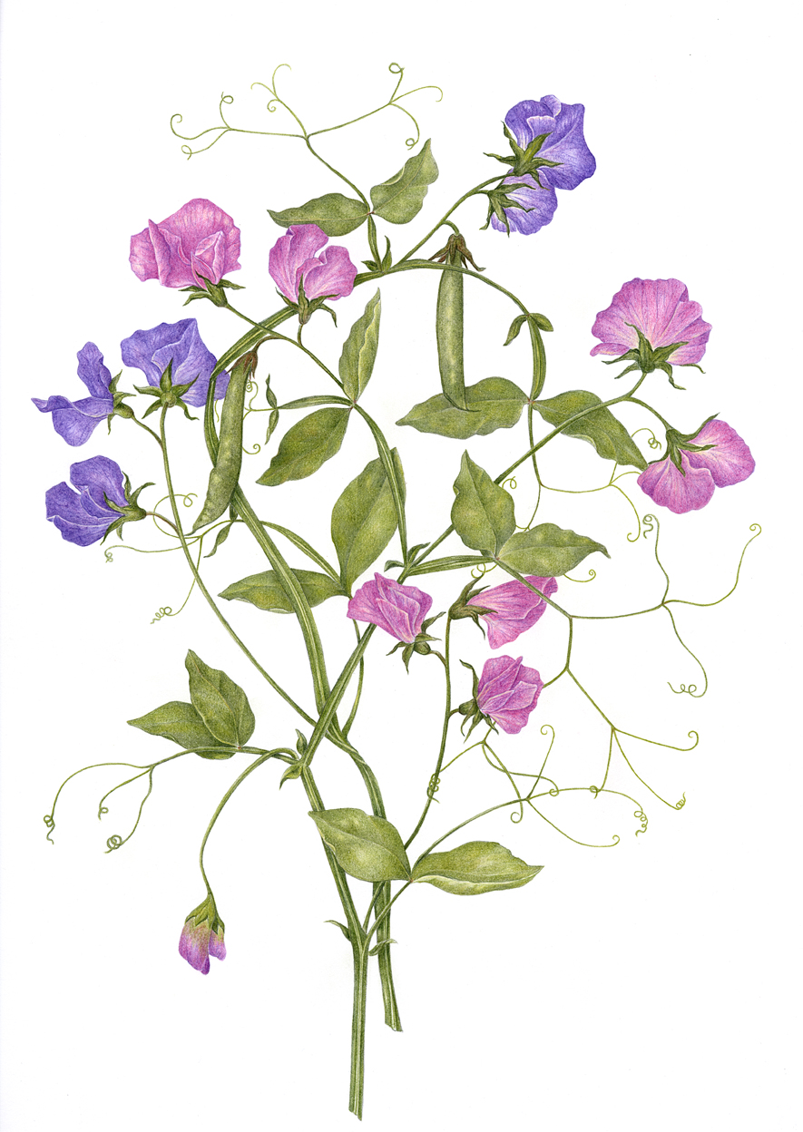 SOLD Sweet Peas