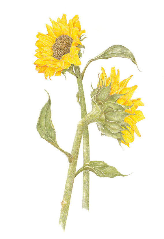 Common Sunflower pair